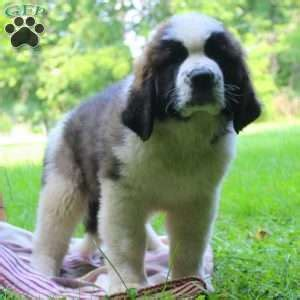 bernard puppies for sale in pa bernard mix puppies for sale greenfield puppies