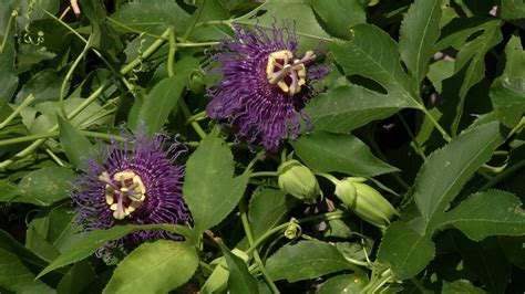 video plant   week incense passion flower