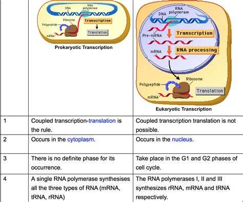 where in a eukaryotic cell does translation occur biology review transcription in eukaryotes and prokaryotes