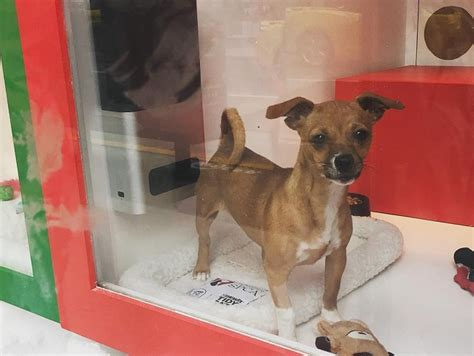 sf adoption petcube joins sf spca at macy s windows with
