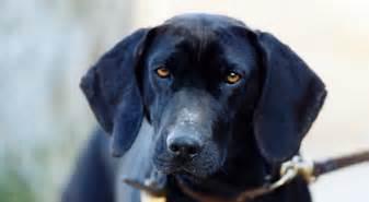 plott hound dogs plott dog breed information american kennel club