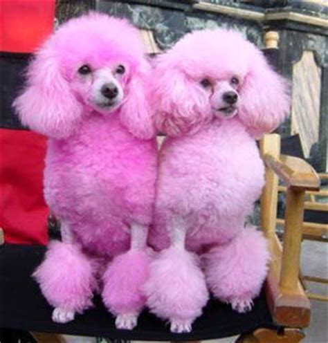Pink Polka Does It Again Pet Pet Pet Product 2 by Pink Puppies Pink Puppys Pink Poodle And