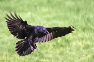 Show Homes Interiors Uk Cornish Wildlife The Secret Life Of Ravens Cornwall Life
