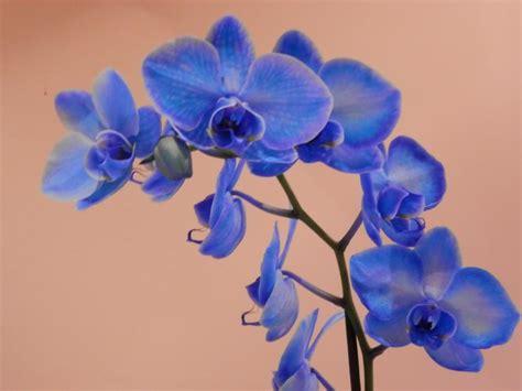 imagenes de flores azules image gallery orquideas azules