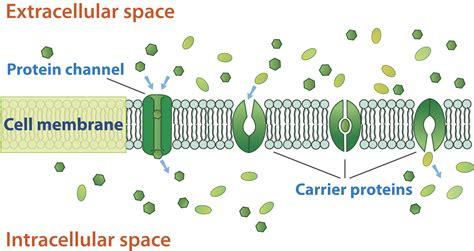 cell transport  homeostasis ck  foundation