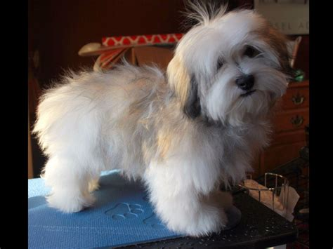 tapscott havanese havanese for sale by westfall american kennel club
