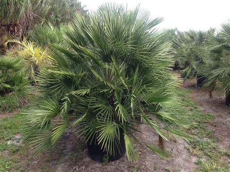 european mediterranean fan palm randy frazier palms plantant com