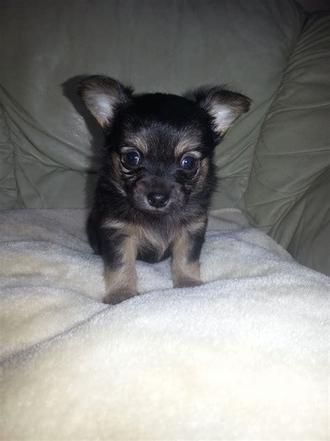 chihuahua and pomeranian puppies pomeranian x chihuahua puppy basildon essex pets4homes
