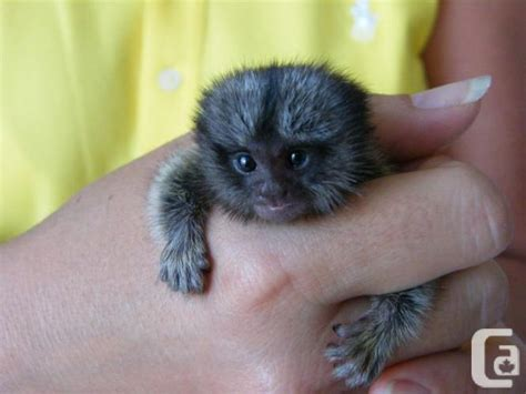 monkeys for sale in ontario baby marmosets monkeys for free adoption for sale in