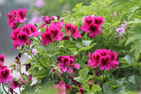 ashby scented scented geraniums plants by post mail order