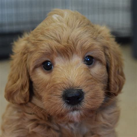 miniature labradoodle puppies mini labradoodle www pixshark images galleries with a bite