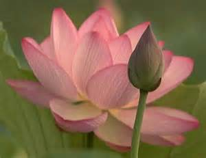 The Lotus Plant Innovation Academy Charter School Wiki Buddhism Key Symbols