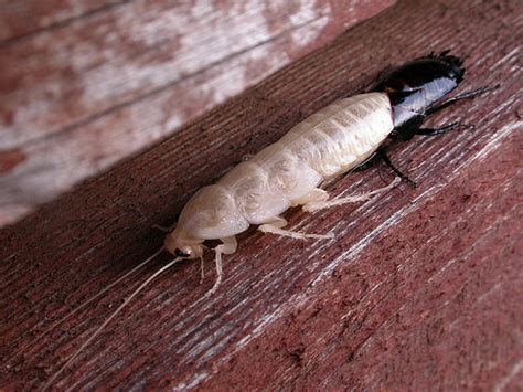 Do Cockroaches Shed by Blattidae Definition Meaning