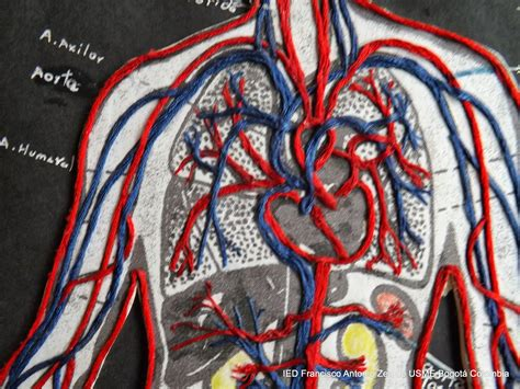 como hacer una maqueta del sistema circulatorio como hacer una maqueta del sistema circulatorio
