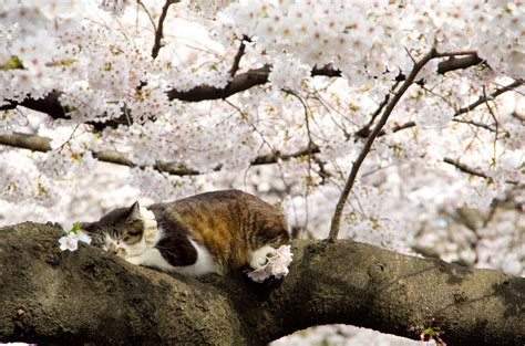 fiori di bak 画像 春の猫がいる風景 花見だ ねこだ お花見にゃんこ 猫 naver まとめ