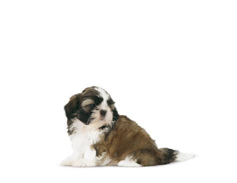 royal canin shih tzu junior shih tzu junior royal canin