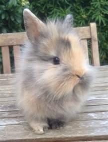 lionhead rabbit colors lionhead rabbits for sale guildford surrey pets4homes