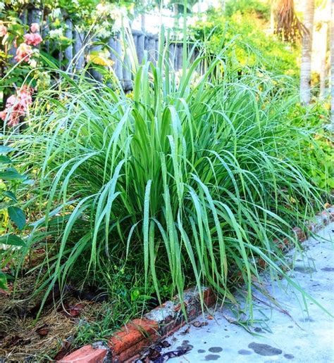 repel mosquitoes with these plants part 1 citronella lemongrass and lantana organic