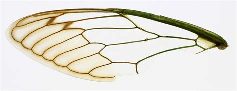 the wings of an insect are attached to this section alpines insect wings