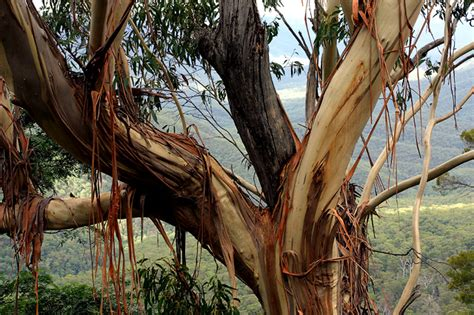 Tree That Sheds Bark by Gum Tree Shedding Bark In Blue Mountains Photo