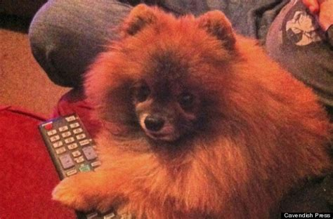 pomeranian attack seize after pomeranian pet has ripped