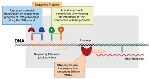 section 12 5 gene regulation answers gene expression and regulatory proteins ck 12 foundation