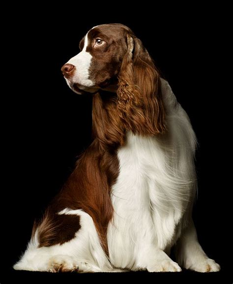 english springer spaniel bench best 25 english springer ideas on pinterest english