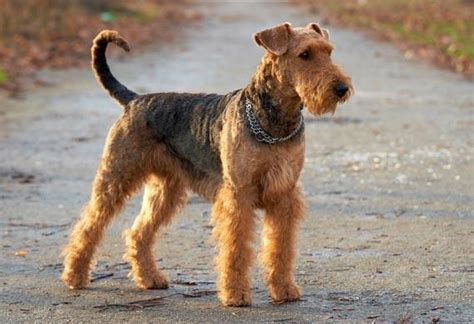 what dogs are hypoallergenic hypoallergenic dogs 101dogbreeds