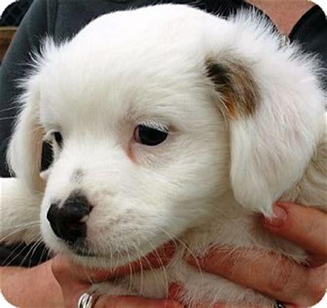 pomeranian cavalier mix oswego il pomeranian cavalier king charles spaniel mix meet baby new year a puppy