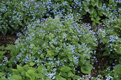Backyard Designs For Dogs Siberian Bugloss Brunnera Macrophylla In Wilmette