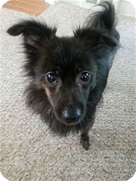 pomeranian schipperke juliette lewis adopted jersey city nj pomeranian schipperke mix