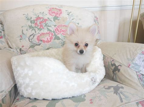 pomeranian puppies cheap pomeranian puppies for sale uk cheap breeds picture
