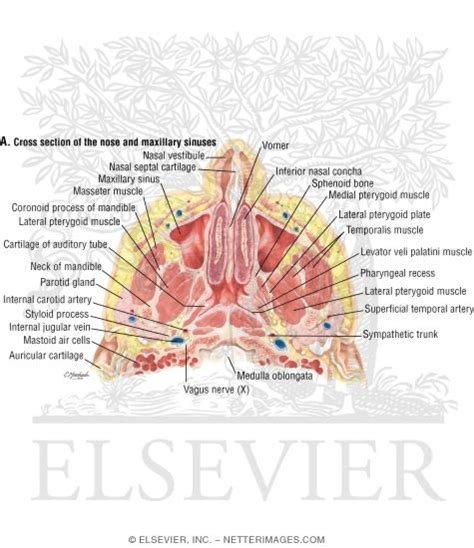 Nose Cross Section by Nose And Paranasal Sinuses Cross Section