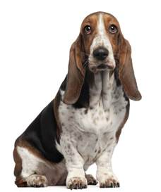 How Much Do Basset Hounds Shed by Small Dogs That Bark Less And Make And Companions