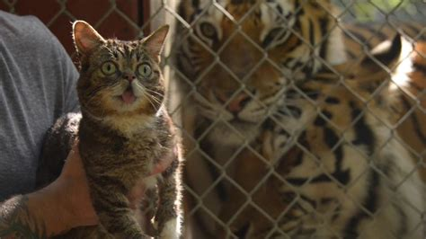 and cats cats save tigers starring lil bub and friends