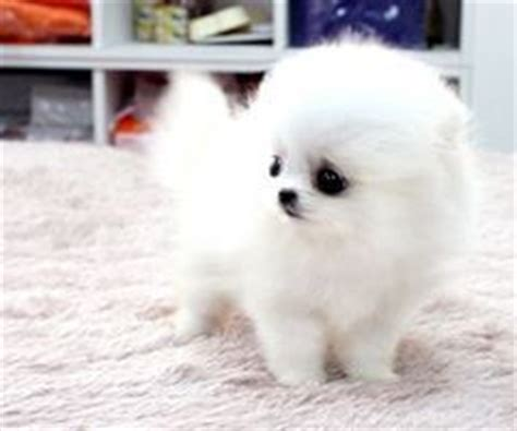 how much is a white teacup pomeranian 25 best ideas about white pomeranian on white pomeranian puppies