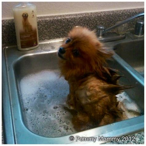 how to brush a pomeranian maintain pomeranian grooming at home pommy