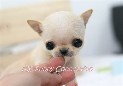 teacup puppies for sale in pa teacup size chihuahua puppies for sale in st s newfoundland m5x eu