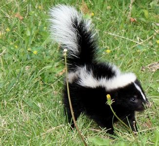 removing skunk odor home remedies recipes you can use