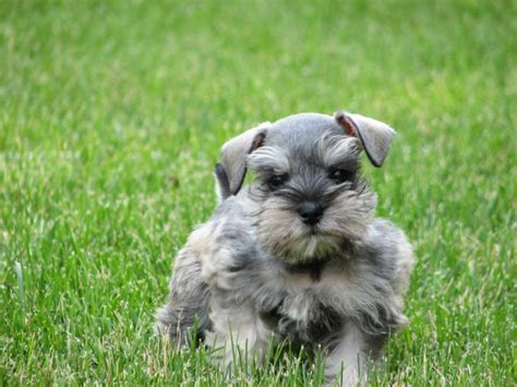 salt and pepper schnauzer puppy itsy bitsy mitzi lonestar farms puppy