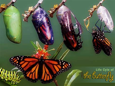 Animal Symbolism Meaning Of The Butterfly Wanders Re Butterfly Meanings