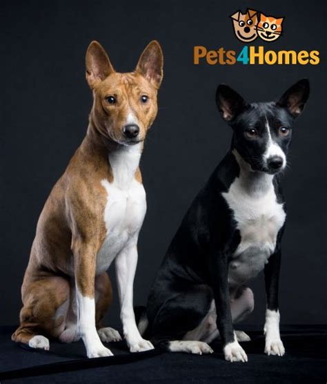 basenji puppy cost basenji breed information buying advice photos and facts pets4homes