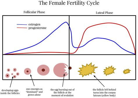 hormone cycle diagram the hormones of the menstrual cycle and why they matter