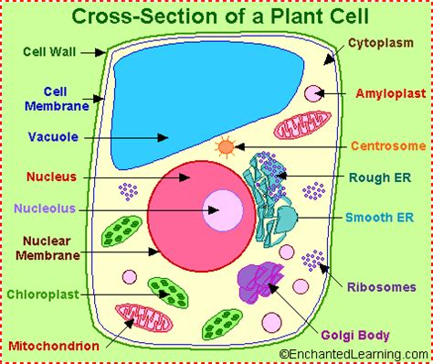plant cell diagram labeled plant cell anatomy enchantedlearning