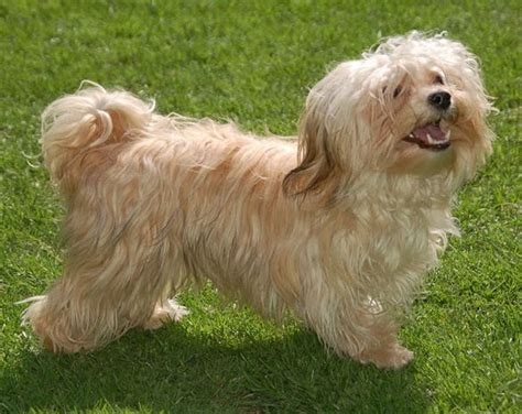 fawn havanese colors colours in havanese havaneser farben info chocolate brown colour color