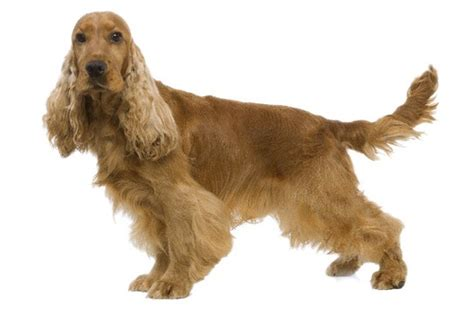 Cocker Spaniel Do They Shed by Breed Info Wooftalk
