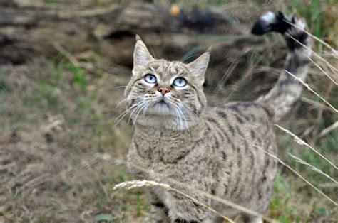 Inidia Cat 33 felis silvestris