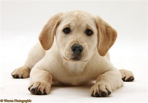 puppy yellow lab dogs yellow labrador retriever