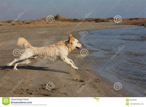 golden retriever jumping golden retriever jumping on stock photo image 64260581