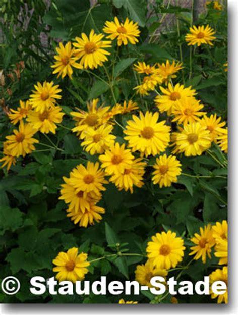 Im Herbst 4939 by Stauden Stade Versand Shop Heliopsis Helianthoides Var